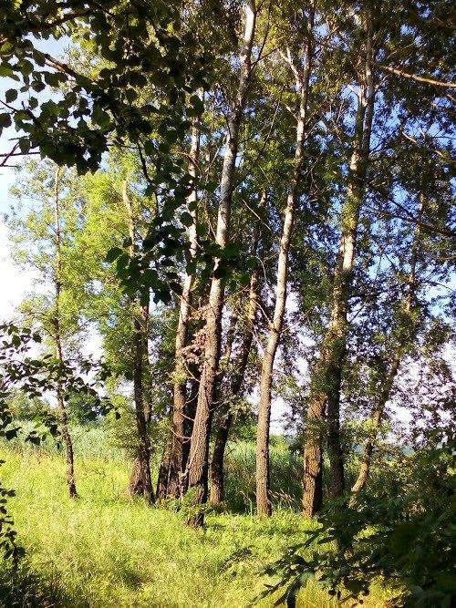 Специјални резерват природе Брзанско Моравиште, група топола