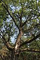 Старый дуб (Old oak) - panoramio.jpg