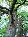 Старі дуби (релікти байрачних лісів) у балці Осиповій. Ботанічний заказник місцевого значення.jpg