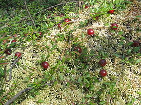Сranberries Mogilev Belarus.jpg