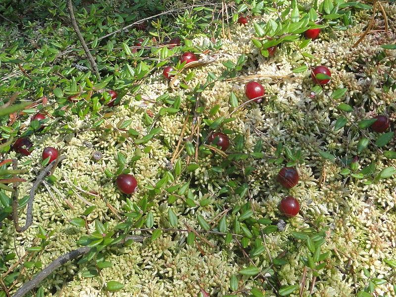 File:Сranberries Mogilev Belarus.jpg