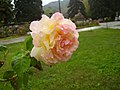 Троянди у Масандрівському парку.jpg
