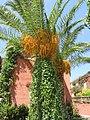 Финиковая пальма. Candia Park. Crete. Greece. Июль 2013 - panoramio.jpg