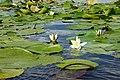 Цвітіння латаття на Білому озері.jpg