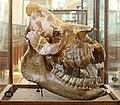 Череп безрогого носорога. Schädel eines hornlosen Nashorns.2H1A0228WI.jpg