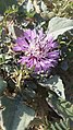 דרדר נמוך centaurea pumilio.jpg