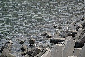رفتار مرغان دریایی نوروزی یا یاعو در کشور عمان، شهر مسقط، ساحل دریای عمان - عکس مصطفی معراجی 04.jpg
