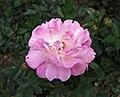 中國古老月季-紫紅香 Rosa chinensis -深圳人民公園 Shenzhen Renmin Park, China- (32797364096).jpg