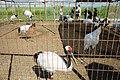 丹顶鹤2,中国扎龙鹤类驯养、繁育研究中心2017.jpg