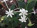 五星花屬 Pentas hindsioides -比利時國家植物園 Belgium National Botanic Garden- (9229788148).jpg