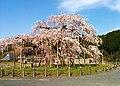 信楽町畑 しだれ桜 - panoramio.jpg