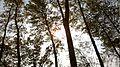 养殖场白桦 - panoramio.jpg