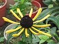堆心菊 Gaillardia pinnatifida -香港嘉道理農場 Kadoorie Farm, Hong Kong- (9213308691).jpg