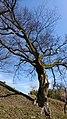 峰山陣屋跡のエノキ4.jpg