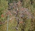 柿の木 - panoramio.jpg
