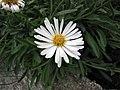 白花高山紫菀 Aster alpinus 'Albus' -哥本哈根大學植物園 Copenhagen University Botanical Garden- (36247369354).jpg