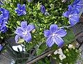 義大利風鈴草 Campanula isophylla -奧地利維也納 Vienna Stephansplatz, Austria- (27279100743).jpg