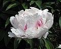 芍藥-玉花石 Paeonia lactiflora -北京景山公園 Jingshan Park, Beijing- (12380138945).jpg