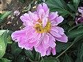 芍藥-蝶落粉樓 Paeonia lactiflora 'Butterfly on Pink Pavilion' -北京植物園 Beijing Botanical Garden, China- (12403730935).jpg