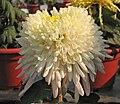 菊花-彩雲追月 Chrysanthemum morifolium 'Colourful Cloud Chasing Moon' -中山小欖菊花會 Xiaolan Chrysanthemum Show, China- (11961468913).jpg