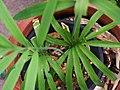 蘇鐵 Encephalartos sp. - panoramio.jpg