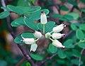 越南葉下珠(鐵包金) Phyllanthus cochinchinensis -香港動植物公園 Hong Kong Botanical Garden- (9240256698).jpg
