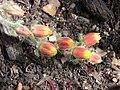 錦司晃 Echeveria setosa -倫敦植物園 Kew Gardens, London- (9207641618).jpg