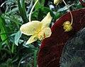黃瓣秋海棠 Begonia xanthina -新加坡濱海灣花園 Gardens by the Bay, Singapore- (24995819851).jpg