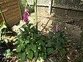-2020-06-04 Foxgloves (Digitalis purpurea), Trimingham (4).JPG