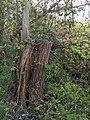 -2021-04-22 Fallen tree, Bourne, Lincolnshire (2).jpg