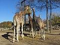 - ITALY - Giraffa (Giraffa camelopardalis) - Parco Natura Viva - Verona2.jpg
