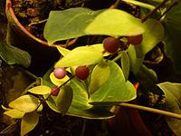 00562 - Sphyrospermum cordifolium.JPG