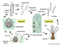 04 03 49 ciclo de vida, Mycosphaerella, Mycosphaerellales, Ascomycota (M. Piepenbring).png