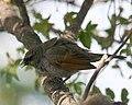 060328 baywing chick a CN - Flickr - Lip Kee.jpg