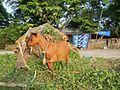 09409jfCattle goats grasslands Roads San Miguel, Bulacanfvf 01.jpg