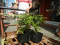 0998Ornamental plants in the Philippines 71.jpg