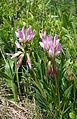 0 Trifolium alpinum - Vallorcine (1).JPG