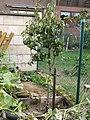 1,5 m Birnbaum, am 3.10.2012 umgepflanzt. - panoramio.jpg
