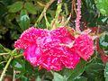 1461893 Red-roses 620.jpg