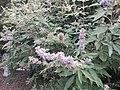 1 flores rosadas texas pink flower tree (11).jpg