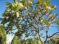 2002Plumeria acuminata 04.jpg