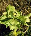 2006-29-12Helleborus foetidus12.jpg