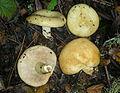 2009-11-23 Lactarius alnicola 28709 1.jpg