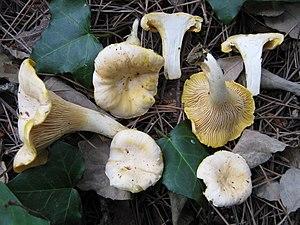 Chanterelle -  C. cibarius var. pallens