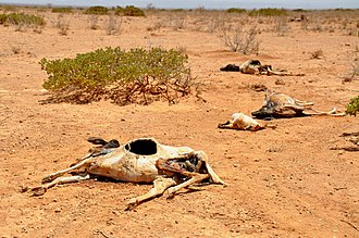 2011 East Africa drought - Carcasses of sheep and goats amidst a severe drought in Waridaad in the Somaliland region