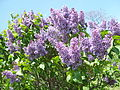 2013 Rochester Lilac Festival - Flower City Lilac - 02.JPG