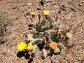 2014-06-28 12 23 52 Prickly pear cactus with yellow and orange blossoms on the slopes of East Twin in the Adobe Range near Elko, Nevada.JPG