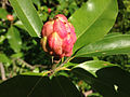 2014-08-27 15 14 53 Closeup of the unripe fruit of a Sweetbay Magnolia near the Buttinger House at the Stony Brook-Millstone Watershed Association.JPG