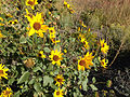2014-09-08 08 44 08 Sunflowers along Interstate 80 near milepost 275 in Eureka County, Nevada.JPG