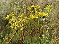 20140827Jacobaea vulgaris2.jpg